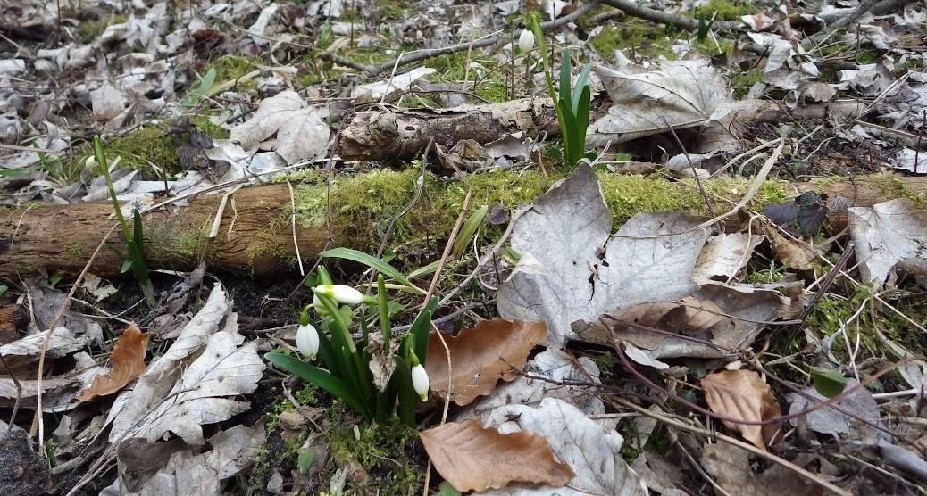 Zdjęcie Śnieżyc wiosennych z rezerwatu Śnieżycowy jar